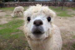 Cute llama Stock Image
