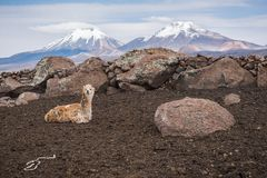 Llama against volcanos. Cute llamas of Altiplano, Bolivia, South America Royalty Free Stock Photography