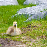 Cute Lone Gosling in Park. Cute lone gosling sitting on grass in the park Royalty Free Stock Images