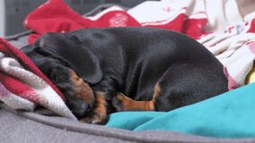 Cute lonely dachshund puppy lies among warm blankets and falls asleep in pet bed at home, close up. Sad baby dog is