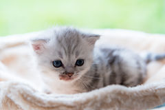 Cute lonely kitten. Close up of sick cute tabby kitten sit and looking on top of wooden cat toy in home Stock Photos