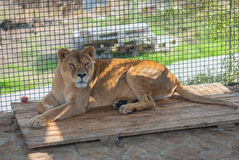 Cute lonely lioness in a cage Stock Images