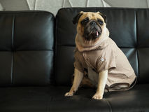 Cute lonely pug dog puppy sad and sit on black sofa wait someone. Cute lonely dog puppy pug sad and sit on black sofa wait someone royalty free stock photography