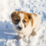 Cute lonely puppy is standing in the snow and looking plaintively.  royalty free stock photography