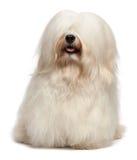 Cute long hair cream Havanese dog