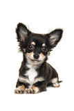 Cute long haired chihuahua puppy dog lying down Royalty Free Stock Photo