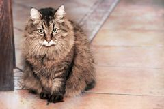 Cute long-haired Siberian cat stock images