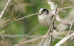 A cute Long-tailed Tit Aegithalos caudatus hunting for insects to feed on . Stock Photo