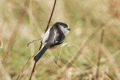 A cute Long-tailed Tit Aegithalos caudatus perched on the stem of a plant close to the ground. A Long-tailed Tit Aegithalos caudatus perched on the stem of a Stock Images