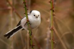 Cute Long-tailed Tit - Aegithalos caudatus Royalty Free Stock Photography