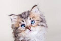 Cute longhair kitten with blue eyes. Cute kitten with blue eyes on creamy background Stock Images