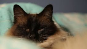 Cute longhaired Thai cat sleeping and waking up close-up stock video footage
