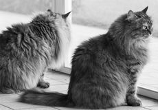 Cute lonh haired cats of siberian breed female in the garden Royalty Free Stock Photo