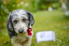 Cute look of an adopted stray dog. Picture of a Cute look of an adopted stray dog Royalty Free Stock Photos