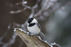 The Cute Look. Close up of black capped chickadee perched on a snow covered log stock photos