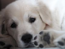 Cute look of a little puppy two months old royalty free stock image
