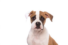 Cute looking american bulldog Stock Photos