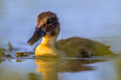 Cute looking duckling swimming in park pond. Cute looking duckling swimming in pond of spring park background in the Netherlands Royalty Free Stock Photos