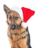 Cute looking german shepherd with santa hat Royalty Free Stock Image