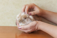 Cute lop eared baby rabbit Royalty Free Stock Photos