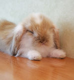 Cute lop eared baby rabbit Stock Images