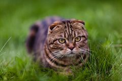 Cute lop-eared kitten in the grass close-up.  royalty free stock photos