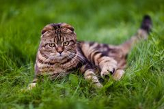 Cute lop-eared kitten in the grass close-up.  royalty free stock photo