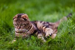 Cute lop-eared kitten in the grass close-up.  stock photos