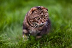 Cute lop-eared kitten in the grass close-up.  royalty free stock images