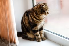Cute lop-eared kitten looks out the window. Close-up royalty free stock photos