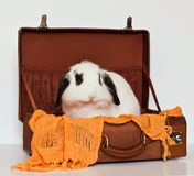 Cute Lop Rabbit in a Suitcase Royalty Free Stock Image