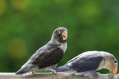 Cute lovebirds standing on the perch Stock Photos