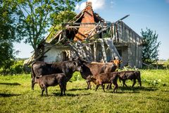 Cute lovely angus cow family in front of old neglected farm on grass in sunny day stock photo