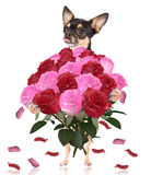 Cute lovely chihuahua dog give a bunch of roses Royalty Free Stock Photo