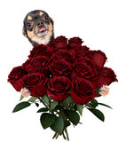 Cute lovely chihuahua dog give a bunch of roses for valentine day Royalty Free Stock Photos