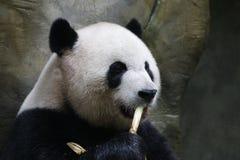 Fluffy Giant Panda  in China. A Cute, lovely Giant Panda Eats Bamboo Shoot Royalty Free Stock Photo