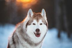 Cute, lovely and happy siberian Husky dog sitting on the snow in winter fairy forest at golden sunset. Close-up portrait of cute, lovely and happy siberian Husky royalty free stock photos