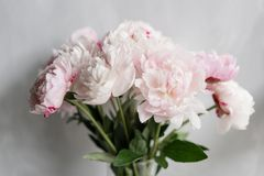 Cute and lovely peony. many layered petals. Bunch pale pink peonies flowers light gray background. Wallpaper.  Royalty Free Stock Photos