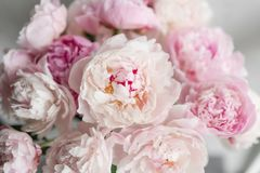Cute and lovely peony. many layered petals. Bunch pale pink peonies flowers light gray background. Wallpaper.  Stock Photo