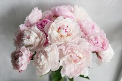 Cute and lovely peony. many layered petals. Bunch pale pink peonies flowers light gray background. Wallpaper.  Royalty Free Stock Image