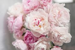Cute and lovely peony. many layered petals. Bunch pale pink peonies flowers light gray background. Wallpaper, Vertical. Cute and lovely peony. many layered Royalty Free Stock Photos