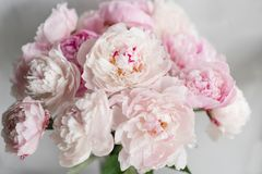 Cute and lovely peony. many layered petals. Bunch pale pink peonies flowers light gray background. Wallpaper, Vertical. Cute and lovely peony. many layered Stock Image