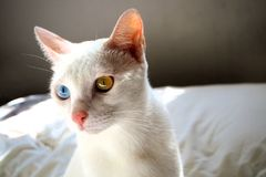 Cute lovely white cat with blue eye color Royalty Free Stock Image