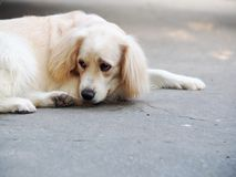 Cute lovely white long hair young crossbreed dog. Laying flat on garage floor outdoor making sad face waiting for the owner to take a walk portraits close Royalty Free Stock Images