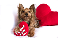 A cute lover valentine yorkshire terrier boy dog with a red hear. Very cute lover valentine yorkshire terrier boy dog with a red heart isolated on white Royalty Free Stock Photography