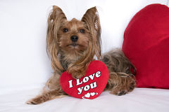 A cute lover valentine yorkshire terrier boy dog with a red hear. Very cute lover valentine yorkshire terrier boy dog with a red heart isolated on white Royalty Free Stock Photo