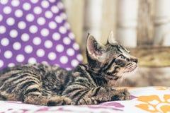 Cute loving little tabby kitten Royalty Free Stock Images