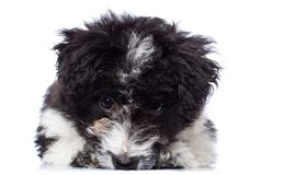 Cute lying Bichon Havanese puppy Stock Photo