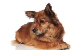 Cute lying brown metis dog looks down to side. On white background Stock Photo