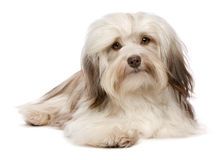 Cute lying chocolate Havanese dog Stock Image